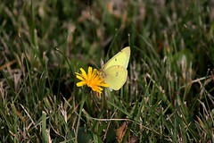 Male Common Sulphur Butterfly Feasting On Cat's Ear Blossom Yet Again 007 - Colias Philodice (Chrisser) Tags: insects insect butterflies butterfly commonsulphur coliasphilodice nature ontario canada canoneosrebelt1i canonef75300mmf456iiiusmlens pieridae