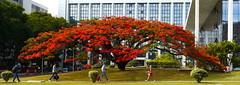 Time heals all wounds . . . (ericrstoner) Tags: tree árvore treecare flamboyant delonixregia tribunaldejustiçadodistritofederal fabaceae brasília distritofederal royalpoinciana flametree