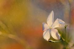 Rain of joy// Llvia de alegra (Mireia B. L.) Tags: autumn macro otoo jasmine jazmn raindrops drops water rain agua llvia joy alegra bokeh colourful waterdrops gotasdellvia gotas gotasdeagua