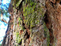 Colourful lichen (jo.elphick) Tags: durras nsw australia lichen tree bark