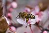 Biene (friedrichhinterberger) Tags: biene natur drausen insekten bee insekt tier macro ef100mm f28l is usm canon 5d mark3 tiere