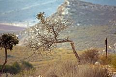 Olivo Carnaje 1 (AAcero) Tags: olivo calacarnaje cabodegata