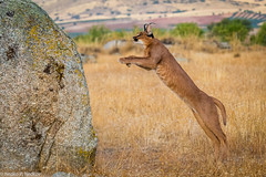 Caracal (Nedko Nedkov) Tags: caracal wildlife jumping hunting nedko nedkov
