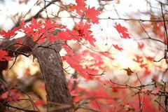 Canada~ Maple Leaf (Karen McQuilkin) Tags: canada redleaf windy trees karenmcquilkin mapleleaf