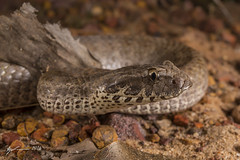 Rough-scaled Death Adder (R. Francis) Tags: acanthophisrugosus death adder roughscaleddeathadder ryanfrancis ryanfrancisphotography nt northernterritory litchfieldnationalpark