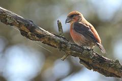 Kruisbek - Loxia curvirostra - Red Crossbill (merijnloeve) Tags: kruisbek loxia curvirostra red crossbill amsterdamse waterleidingduinen bird sun