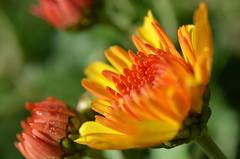 Autumn flower (dfromonteil) Tags: fleur flower yellow orange jaune green vert colors couleurs macro bokeh nature garden jardin light lumire
