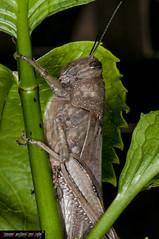 Anacridium aegyptium (frillicca) Tags: 2010 acrididae anacridiumaegyptium april aprile cavalletta cricket egyptianlocust insect insetto locusta locustaegiziana macro macrofotografia ortottero insetti orthoptera