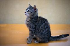 Kitty... (lubokl47) Tags: kitten pet outdoor animal cat panasonicgx7 lumixg1720 czech