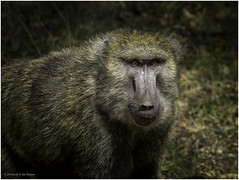 Baboon (Luc V. de Zeeuw) Tags: baboon ethiopia grass arbaminch southernnationsnationalitiesandpeoplesregion