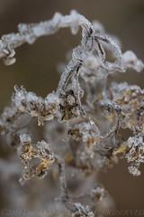 _DSC1308.jpg (darrylkirby) Tags: macro winter flowersplants