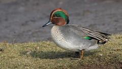 Teal 231016 (2) (Richard Collier - Wildlife and Travel Photography) Tags: wildlife naturalhistory birds teal british britishbirds rspb lodmoor