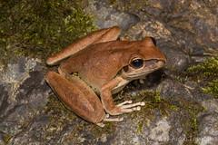 Stony Creek Frog (Litoria wilcoxii) (JLoyacano) Tags: australia frog jacobloyacano amphbian animal anura herp herping litoria litoriawilcoxii stonycreekfrog wildlife