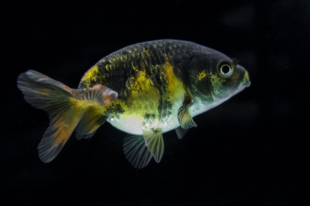 Junge goldfische farbe hobby gartenteich for Rotfeder gartenteich