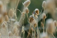 Goldfinch (David Barnes Wildlife Photography) Tags: 1d4 birds british cardueliscarduelis dipsacusfullonum fauna frost goldfinch nature naturephotography teasel uk unitedkingdom wildlife