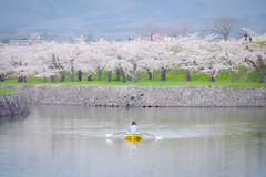 Hokkaido Spring (@Mahalarp) Tags: japan cherryblossom fujifilm fujifilmxseries goryokaku hakodate hokkaido sakura season spring xt1 hakodateshi hokkaid jp