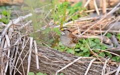White-throated sparrow_FX0_2733_e (Daniel and Patricia Lafortune) Tags: bird birds sparrow sparrows whitethroated nature wildlife onatrio ottawa canada