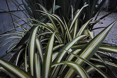20161205_DP0Q6888 (NAMARA EXPRESS) Tags: street plant leaf evening winter cloudy outdoor color foveonclassicblue toyonaka osaka japan foveon sigma dp0 quattro wide ultrawide superwide namaraexp