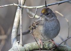 Golden-crowned Sparrow_1920 (Mike Head - Jetwashphotos) Tags: sparrow goldencrownedsparrow zonotrichiaatricpellia perched resting branch westhamisland ladner southdelta delta bc britishcolumbia canada westerncanada westernregion