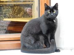 Brugge Cat (deltrems) Tags: cat puss pussy pussycat pet black
