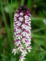 orchis ustaulata