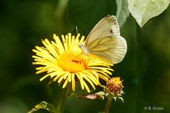 Schmetterling 161 (rgr_944) Tags: schmetterling butterfly papillon tiere insekten macro natur canoneos60deos70deos80d rgr944 pflanzen blumen