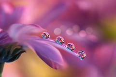 Together is better (Marilena Fattore) Tags: artistic canon tamron 90mm colors water waterdrops drops creativity nature closeup focus petals floralart reflection bokeh pink purple softness flower daisy garden