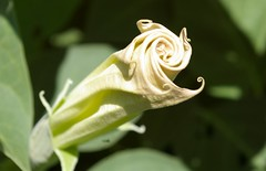 All curled up (candiceshenefelt) Tags: flower scrolls white lovely pretty beautiful