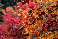 Acer At Winkworth (John Penberthy LRPS) Tags: johnpenberthy nikon d750 nature acer winkwortharboretum colour color leaf leaves autumn fall nationaltrust