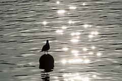 Water Reflections Water Reflections Sunlight Reflection Bird Floating On Water Nature Waterfront Beauty In Nature Light And Shadow Water Bird Bayside Afternoon November November 2016 Travel (T.M Photos) Tags: waterreflections water reflections sunlight reflection bird floatingonwater nature waterfront beautyinnature lightandshadow waterbird bayside afternoon november november2016 travel
