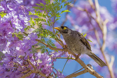Googly Eyed Loves Purple, Too (satochappy) Tags: jacaranda blossoms noisyminer australia sydney spring cluster purple bird her