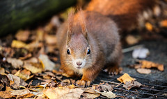 Red squirrel (ReevesWild) Tags: wildlife nature naturephotography wildlifephotography animal britishwildlife ukwildlife uknature uk britishwildlifecentre mammal ukmammal britishmammal mammals squirrel redsquirrel sciurus sciurusvulgaris vulgaris