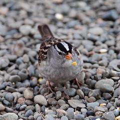 White-crowned sparrow,  Zonotrichia leucophrys (jlcummins - Washington State) Tags: bird yakimacounty washingtonstate nature wildlfie animal whitecrownedsparrow backyardbirds zonotrichialeucophrys