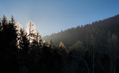 Catching Winter Sun (Ernst_P.) Tags: aut baum fichte gegenlicht inzing österreich pflanze sonne tirol wald winter walimex samyang 135mm f40