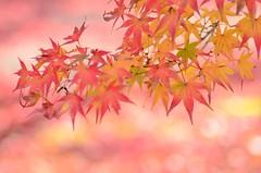 autumn colours (snowshoe hare*(catching up)) Tags: dsc0185 maple japanesemaple tenryujitemple kyoto fall autumn fallfoliage autumnfoliage