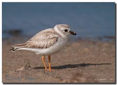 Piping Plover (Betty Vlasiu) Tags: piping plover charadrius melodus bird nature wildlife chincoteague island