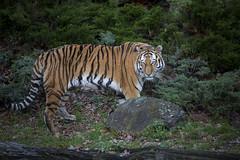 Tiger (DeanB Photography) Tags: tiger tier tiere raubtiere raubtier raubkatze katze gefhrlich zoo magdeburg