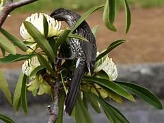 little wattle bird in white waratah (jeaniephelan) Tags: littlewattlebird wattlebird bird waratah