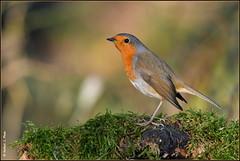 Rouge gorge familier ( Erithacus rubecula ) (norbert lefevre) Tags: oiseau chanteur mousse plumage rougegorge familier d500 nikon