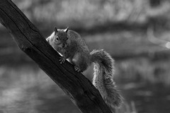 Don't look down! (robertcampbellphotography) Tags: squirrel thelodge blackandwhite animal