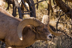 Bighorn - IMG_0586-1 (arvind agrawal) Tags: bighorn ram zion nationalpark zionnationalpark utah canon canoneos1dx idx canon100400 ef 100400mm f4556l is ii