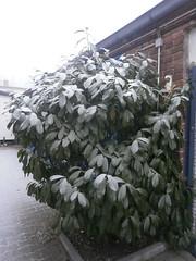 Erster Schnee 2 (Thorte Berlin) Tags: ersterschnee schnee bume baum pflanze pflanzen berlin berlinzehlendorf zehlendorf steglitzzehlendorf frost deutschland germany firstsnow tree trees plant