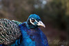 Peacock (Jo_Morley) Tags: bird animal pheasant outdoor peacock pretty green blue beak eye photography photoshop unitedkingdom england southlake south southlakezoo sony watermark composition contrast vibrant depthoffield uk british britain