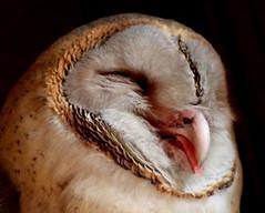 BARN OWL (tjt4002) Tags: barn owl barnowl wisdom bird smilingbird kolkata westbengal indianbird