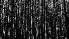 Thick and oppressive (The eclectic Oneironaut) Tags: 2016 6d canon eos guadalajara hayedodelatejeranegra wallpaper thick oppressive bosque forest trees arboles bw byn blanco negro black white