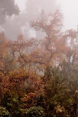 Like a dragon in the mist (Beatriz-c) Tags: tree arbol autum otoo golden dorado leaf hoja landscape nature paisaje naturaleza