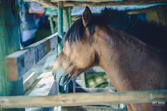 HORSE (sky ross) Tags: horse caballo humor look eye animal life