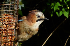 The Jay - Take 2 (peterdouglas1) Tags: jay gardenbirds