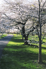 95080023 (lkayosl) Tags: flowers tree nature cherry spring purple blossoms sakura cherrytree