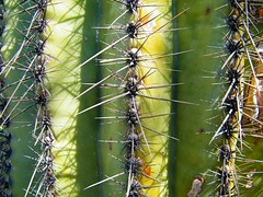 Cactus Bloom 2013 (My photography by Veronica Starcevich) Tags: arizona cactus hot green by cacti photo desert veronica saguaro needles starcevich vstarpics smilingcuzithappened